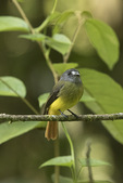 Ornate Flycatcher (Myiotriccus ornatus) in mid-January.