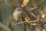 Hammond's Flycatcher (Empidonax hammondii) in early December.