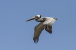 Adult Brown Pelican (Pelecanus occidentalis) in flight in early March.