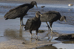 Black Vultures (Coragyps atratus) foraging on the beach in late October.