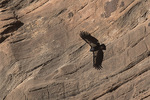 California Condor (Gymnogyps californianus) in early February.