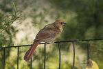 Molting juvenile Northern Cardinal (Cardinalis cardinalis) in late August.