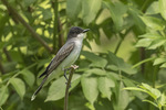 Eastern Kingbird (Tyrannus tyrannus) in late May.