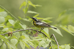 Adult male Magnolia Warbler (Setophaga magnolia) in mid-May on spring migration.