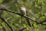 Black-billed Cuckoo (Coccyzus erythropthalmus) in late May on spring migration.