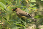 Cedar Waxwing (Bombycilla cedrorum) eating a Shadbush berry in late May.