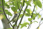 Female Black-throated Green Warbler (Setophaga virens) in late May on spring migration.