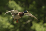 Male Mallard (Anas platyrhynchos) in flight in late May.