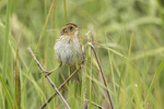 Saltmarsh Sparrow (Ammospiza caudacuta) in early June.