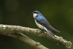 Male Tree Swallow (Tachycineta bicolor) in early June.