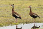 Adult Black-bellied Whistling Ducks (Dendrocygna autumnalis) in mid-June.
