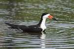 Black Skimmer (Rhynchops niger) bathing in a fresh-water puddle in mid June.