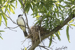 Adult Eastern Kingbird (Tryrannus tyrannus) perched at nest in Willow Oak in late June.