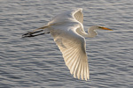 Great Egret (Ardea alba) in flight in late June.