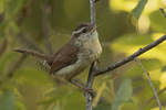 Male Carolina Wren (Thryothorus ludovicianus) singing in late June.