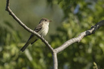 Adult Willow Flycatcher (Empidonax traillii) in late June.