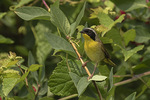 Male common Yellowthroat (Geothlypis trichas) in late June.