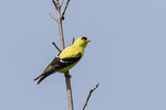 Male American Goldfinch (Spinus tristis) in breeding plumage in late June.
