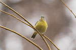 Nashville Warbler (Oreothlypis ruficapilla) in early December.