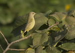 Adult Orange-crowned Warbler (Oreothlypis celata) in mid-October on fall migration.