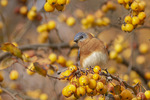 First-fall male Eastern Bluebird (Sialia sialis) in mid-November on fall migration.