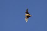 Eastern Red Bat (Lasiurus borealis) in flight in mid-October.