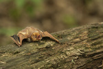 Eastern Red Bat (Lasiurus borealis) resting on a log in early May.