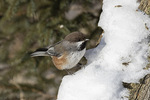 Boreal Chickadee (Poecile hudsonicus) in mid-January.