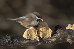 Boreal Chickadee (Poecile hudsonicus) at feeder in mid-January.