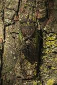 Dog-Day Cicada (Tibicen canicularis), a.k.a. Dog Day Harvestfly, in late July.