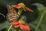Male Monarch (Danaus plexippus) nectaring on Mexican Sunflower (Tithonia rotundifolia) in late July.