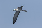Bridled Tern (Onychoprion anaethetus) in late August.