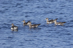 Cory's Shearwater (Calonnectris diomedea) flock in late August.