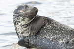 Young male Harbor Seal (Phoca vitulina) in early August.