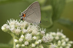 Gray Hairstreak (Strymon melinus) nectaring on Boneset (Eupatorium perfoliatum) in early August.