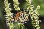 Male Monarch (Danaus plexippus) in early August.