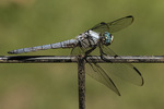 Adult male Great Blue Skimmer (Libellula vibrans) in early August.