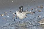 Sanderling (Calidris alba) landing in late February.