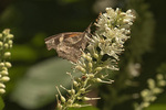American Snout (Libytheana carinenta) nectaring on Sweet Pepperbush (Clethra alnifolia) in late July.