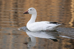 Adult Snow Goose (Anser caerulescens) in late March.