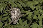 Eastern Screech-Owl (Megascops asio) in mid-August.