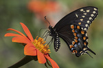 Female Black Swallowtail (Papilio polyxenes) nectaring on Mexican Sunflower (Tithonia rotundifolia) in late August.