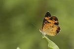 Male Pearl Crescent (Phyciodes tharos) in late August.