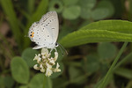 Eastern Tailed-Blue (Cupido comyntas) in late August.