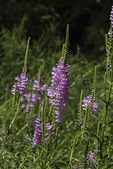 False Dragonhead (Physotegia virginiana) or Obedient Plant in bloom in late August.