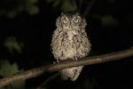 Gray morph Eastern Screech-Owl (Megascops asio) in late August.