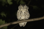 Gray morph Eastern Screech-Owl (Megascops asio) in late August.