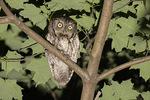 Adult gray morph Eastern Screech-Owl (Megascops asio) in early July.