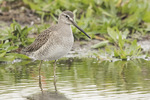 Long-billed Dowitcher (Limnodromus scolopaceus) in early November.