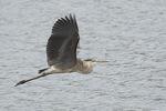 Immature Great Blue Heron (Ardea herodias) in flight in early September.